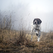 A dog in a fog