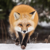 Winter Red Fox Kit