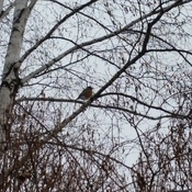 winnipeg's first robin