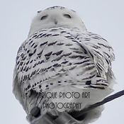 Female Snowy Owl, January 2017, HWY 26 Ontario