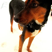 Tannerthecoonhound
