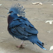 Victorian Crowned Pigeon