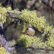 Red-Breasted Nuthatch Framed by Lichen.