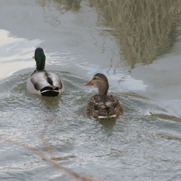 A Pair of Mallard ducks