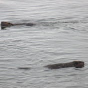 Two beavers swimming