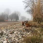 Chickens in fog