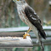 Hawk on Bird-feeder