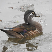Mrs. Wood Duck