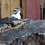 Ontario's Woodpecker ... I snuck up on this woodpecker hanging around today!