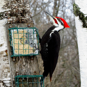Very nice Pileated Woodpecker