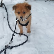 little dog enjoying snow