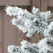 Hoarfrost on coniferous
