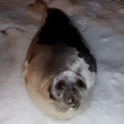 seal on the snow