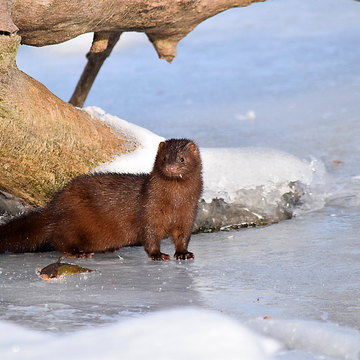 Mink with breakfast
