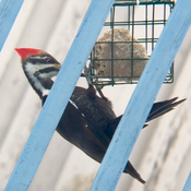 North American Pileated Woodpecker ( male )