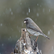 snow Junco