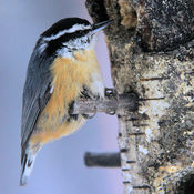 Red Breasted Nuthatch - Bird Feeder