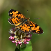 Tiny Little Pearl Crescent