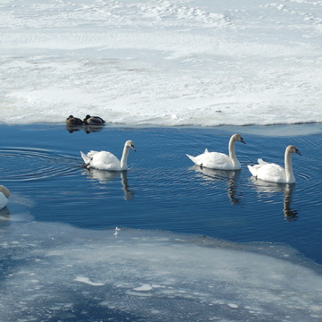Swans on Bay of Quinte, Belleville, ON