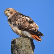 Red-tailed Hawk!
