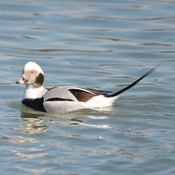 Male Long-tailed Duck!