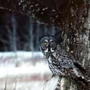 Great Grey Owl of Thunder Bay