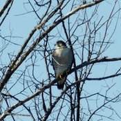 Grey Hawk or Falcon-ID?
