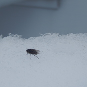House fly is enjoying the snow