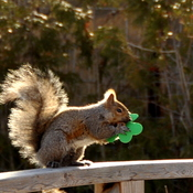 Squirrel is Irish..who knew!!!