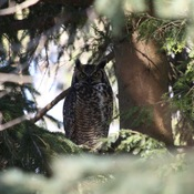 Great Horned Owl of London