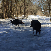 Feeding the wild turkeys