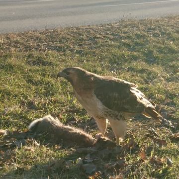 Red tail hawk enjoying dinner.