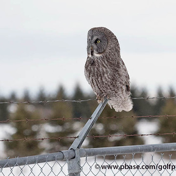 Great Gray owl on March Valley Road