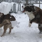 Shovelling snow with Border Collies!