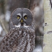 ruffed grouse and great grey owl