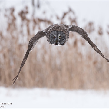 Incoming Great Grey Owl