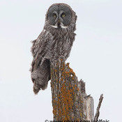Great Gray Owl in Ottawa