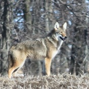 Coywolf / Coydog on Wolfe Island