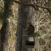 Squirrel on Birdfeeder