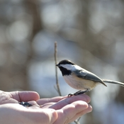 Chickadees Eating Out of Your Hand