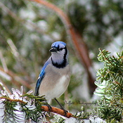 Blue Jay and Icy tree