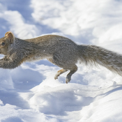 Gray Squirrel in a Hurry