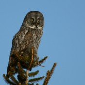 Great Gray Owl in Kanata