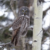 Great grey owl, rough-legged hawk and Bald eagle