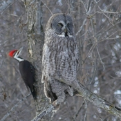 Great Grey Owl and friend.
