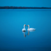 Swans on the Bay of Quinte