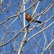 Our first sighting of a robin