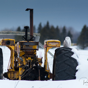 Snowy Owl on Tractor