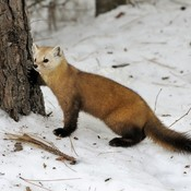 Beautiful Pine Marten