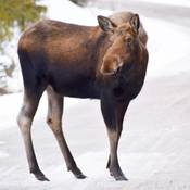 moose on maligne road